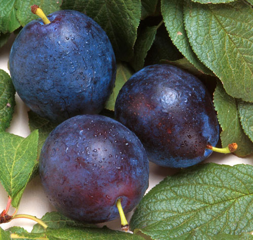 Three Purple Plums With Leaves